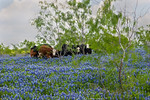 Peering From Behind The Bluebonnets -Ennis, TExas 4-10-12