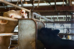You Don't See Me Eating Bama's Food! -Future Farmers Of America, Kylie's Steer, Bama