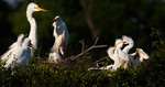 Those Roudy Kids! - Great White Egrets -Smith Oaks Rookery, High Island, Texas 2013