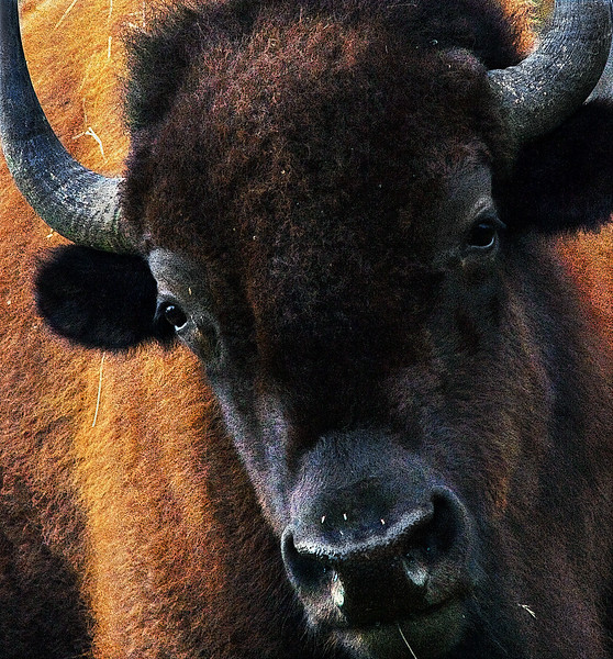 Curious And Gentle Bison -Armand Bayou Nature Center