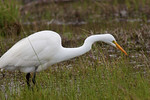 Stealth and Patience, Great White Egret, Anahuac Wildlife Refuge, Skillern Tract