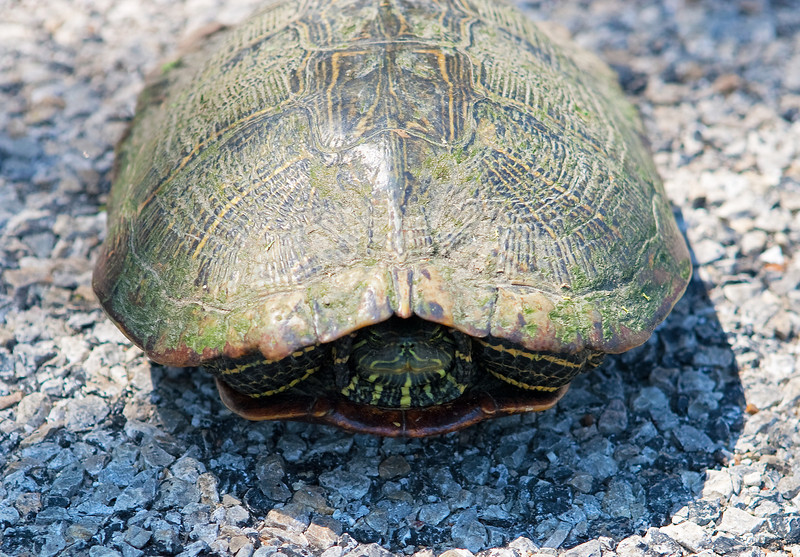 Doesn't Wanna Talk About It -Texas River Cooter - Ennis, Texas, April, 2012