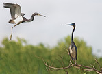 Tri-Colored Herons -Smith Oaks Rookery, High Island, Texas
