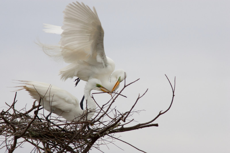 Building Their Nest -Great White Egrets -Smith Oaks Rookery, High Island, Texas