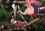 A New Twig -Roseate Spoonbill Family -Smith Oaks Rookery, High Island, Texas