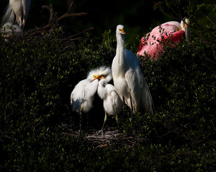 At Home With The Family -Great White Egrets - Smith Oaks Rookery, High Island, TX 2013