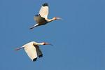 Two White Ibis In Flight -Smith Oaks Rookery, High Island, Texas 2013