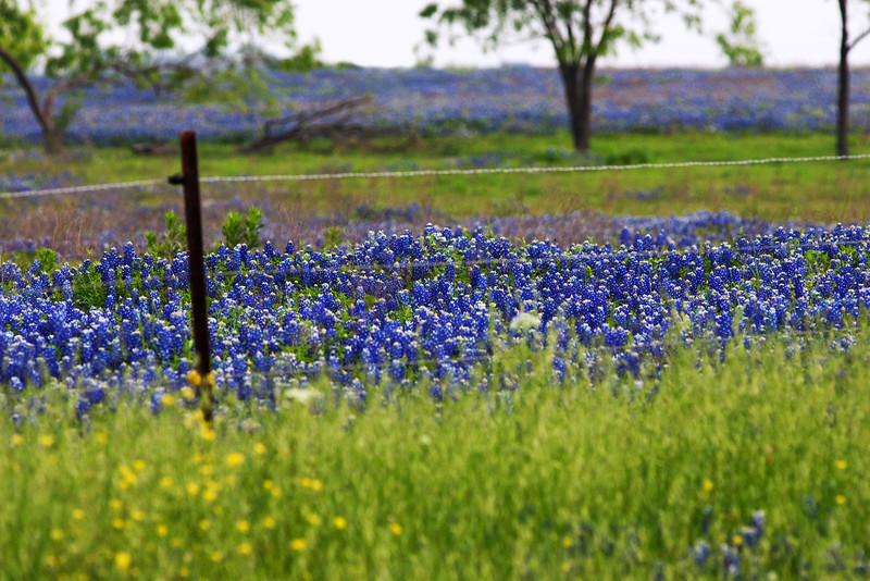 Bluebonnets And The Fence Line -Ennis, Texas 4-10-12