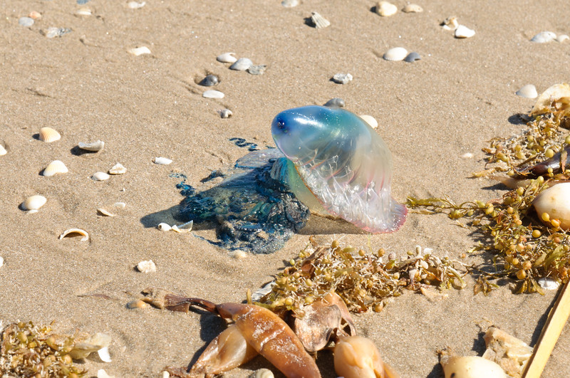 Man-O-War Jellyfisn