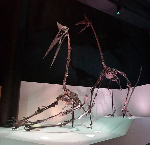 Quetzalcoatlus<br /> <br /> Houston Museum of Natural Science