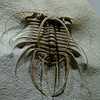 Trilobite<br /> <br /> Houston Museum of Natural Science