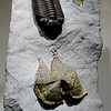 Trilobite with Pyritized Brachiopods<br /> <br /> Houston Museum of Natural Science