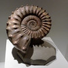 Ammonite<br /> <br /> Houston Museum of Natural Science