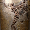 Caudipteryx zoul with feathers<br /> <br /> Early Cretaceous<br /> <br /> Houston Museum of Natural Science