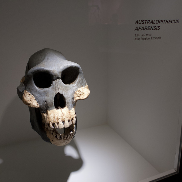 Australopithecus afarensis<br /> <br /> Houston Museum of Natural Science