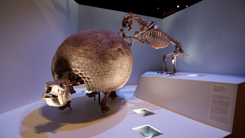 Xenosmilus with Glyptodon<br /> <br /> Houston Museum of Natural Science