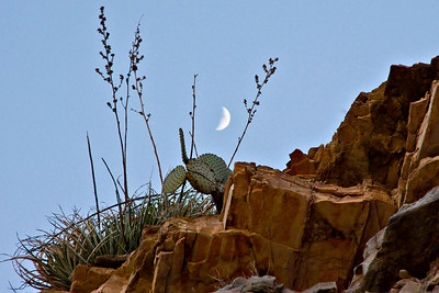 Blind Prickly Pear, Lechugilla and moon in Ernst Canyon.
