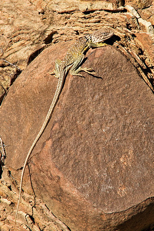 Western Collard Lizard near the base of Alto Relex.