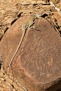 Western Collard Lizard near the base of Alto Relex.