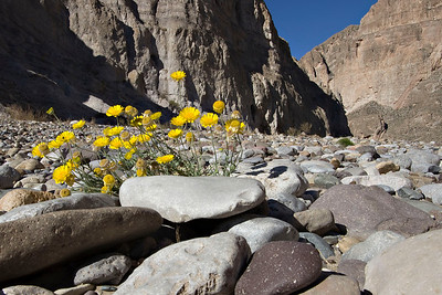 Dandelions scratching out an existence among the rocks in Boquillas Canyon.