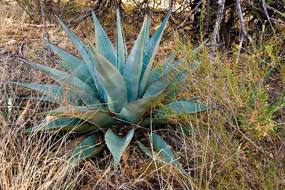Nice agave specimen in Chisos Basin.