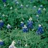 Bluebonnets - Lady Bird Johnson Wildflower Center, Austin, TX  3-9-00