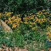 Native Wildflowers - Lady Bird Johnson Wildflower Center, Austin, TX  3-9-00