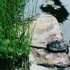 Turtle at Pond Lady Bird Johnson Wildflower Center, Austin, TX  3-9-00