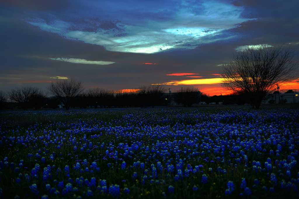 Blue Bonnets at Sunset