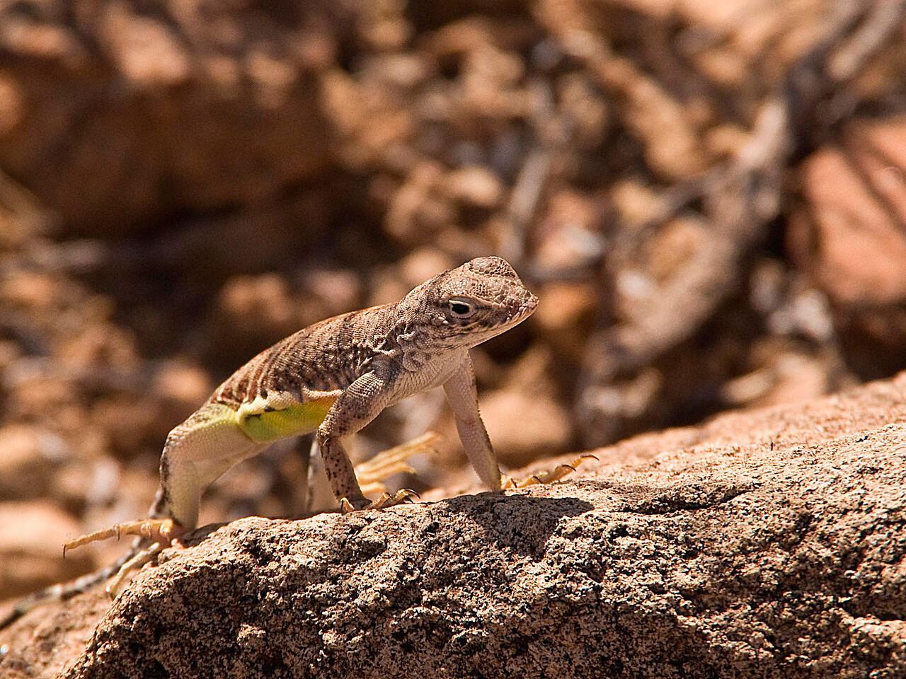 Lizard near Grapevine Hills