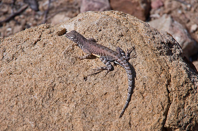 Lizard near Grapevine HIlls