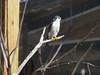 African Pygmy Falcon <i>(Polihierax semitorquatus)</i>  (March 9, 2007)