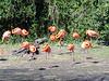 Caribbean Flamingos <i>(Phoenicopterus ruber ruber)</i>  (March 9, 2007)