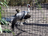 Wattled Crane <i>(Bugeranus caruncalatus)</i>  (March 9, 2007)