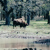 Bison - Fort Worth Nature Center & Refuge  3-11-00