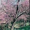 Redbud Tree - Botanical Gardens - Fort Worth, TX  3-11-00