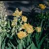 Flowers - Botanical Gardens - Fort Worth, TX  3-11-00