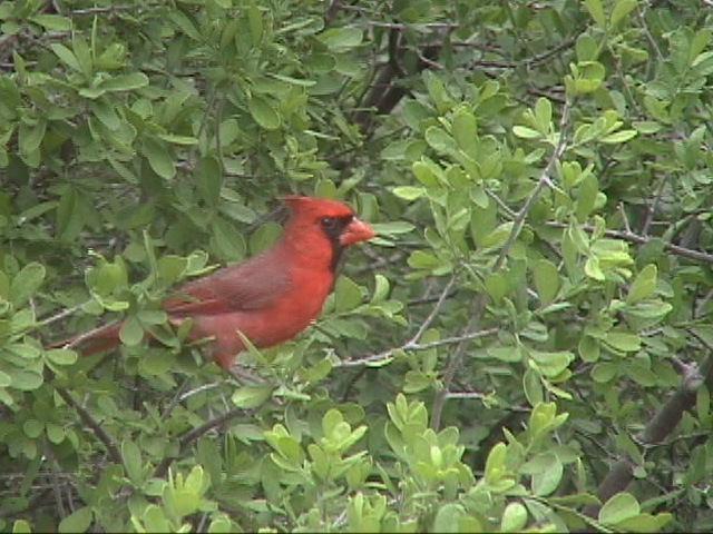 This Northern Cardinal (Cardinalis cardinalis ) was in the bushes beside the trailer.