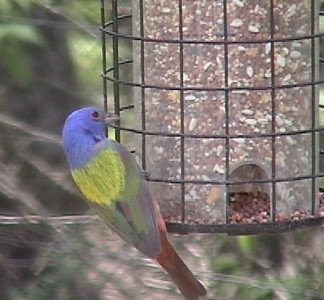 Here is one of the most colorful birds this area.  It is the Painted Bunting ( Passerina ciris ).  It is about the size of a finch, but is blue, yellow, green and red.