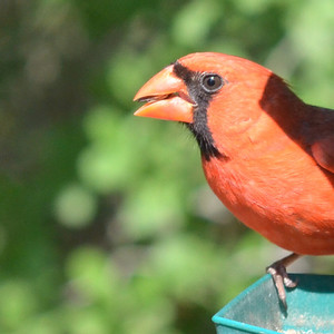With his mouth full this Northern Cardinal (Cardinalis cardinalis ) is a common visitor to the feeding station here at the Ranch.