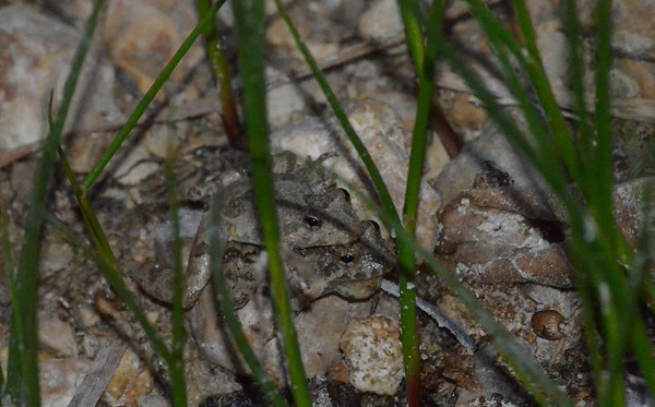 "We also have these tiny Northern Cricket Frog (Acris crepitans) by the creek.  When they croak, they sound like the little Clicker toys we had as kids.  They are only 1/2"" to 3/4"" in size, so i used close up to get them."