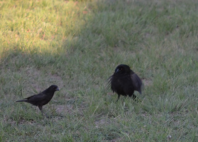 LOOK AT ME!!! Mr. Bronzed Cowbird ( Molothrus aeneus ) is trying to get the attention of female feeding.