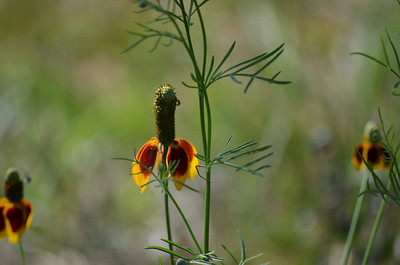 I think these are called Mexican Hat flowers, and they are blooming all over the ranch.