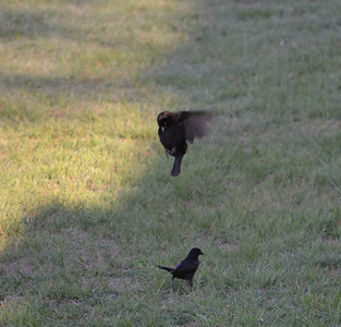 This Beonzed Cowbird would hang in the air trying to impress the female, but she would just continue feeding.