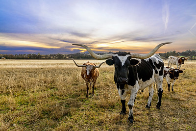 Longhorns in Walburg, Texas