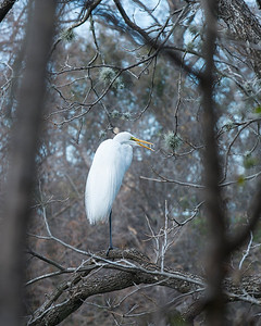 Egret - Austin - Texas - USA