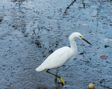 Small Egret - Austin - Texas - USA