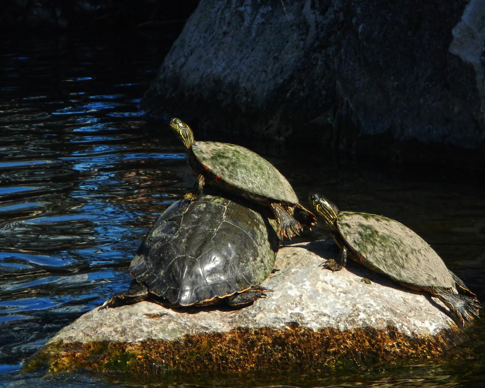 Turtles - Austin - Texas - USA