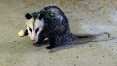Opossom, Austin, Texas
