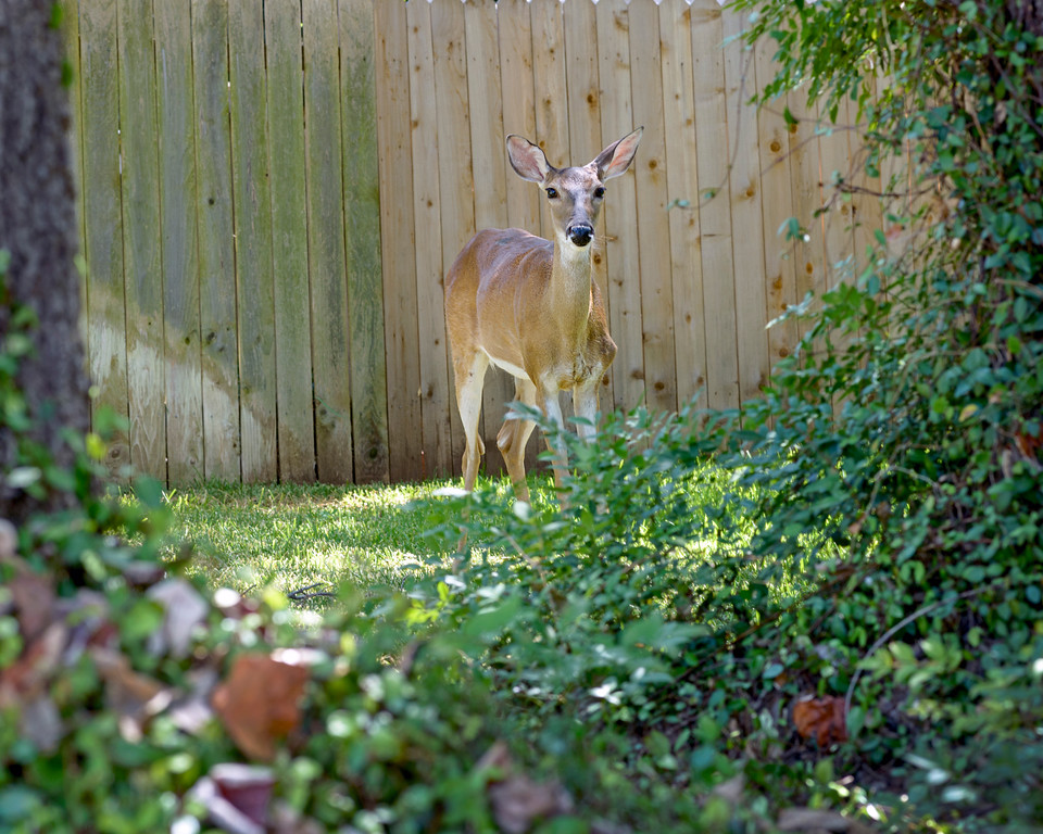 Doe Deer, Austin, Texas